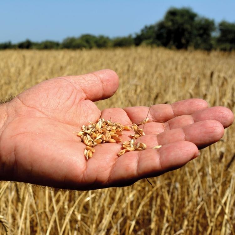 Il nostro speciale grano russello. Azienda Agricola Bio Di Lorenzo.